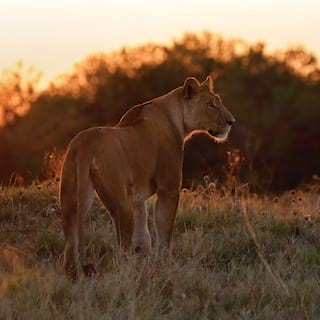 Lioness stalking through grasslands highlighted by the setting sun