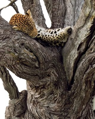 Sleeping leopard curled in a gnarled tree