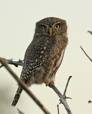 Close-up of a brown feathery owl perched on a branch