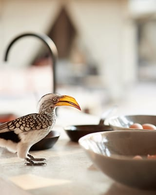 Pale billed hornbill bird perching on a table with a cheeky expression