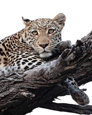 Leopard stretched across a tree branch facing towards the camera
