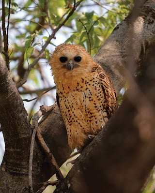 Feathery owl perching in a tree and facing towards the camera