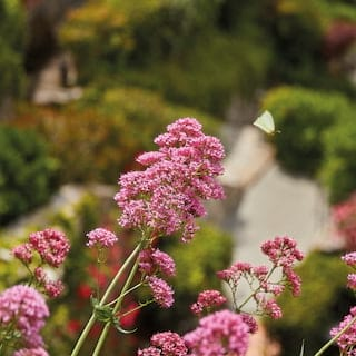Close-up of a dusky pink ornamental herb flower in a lush hilltop garden