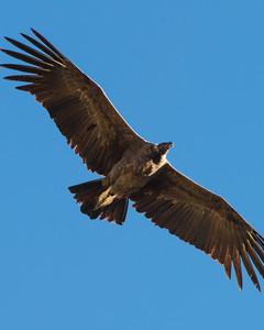 Andean Condor Tour Colca Canyon