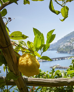 Lemon Groves of Amalfi